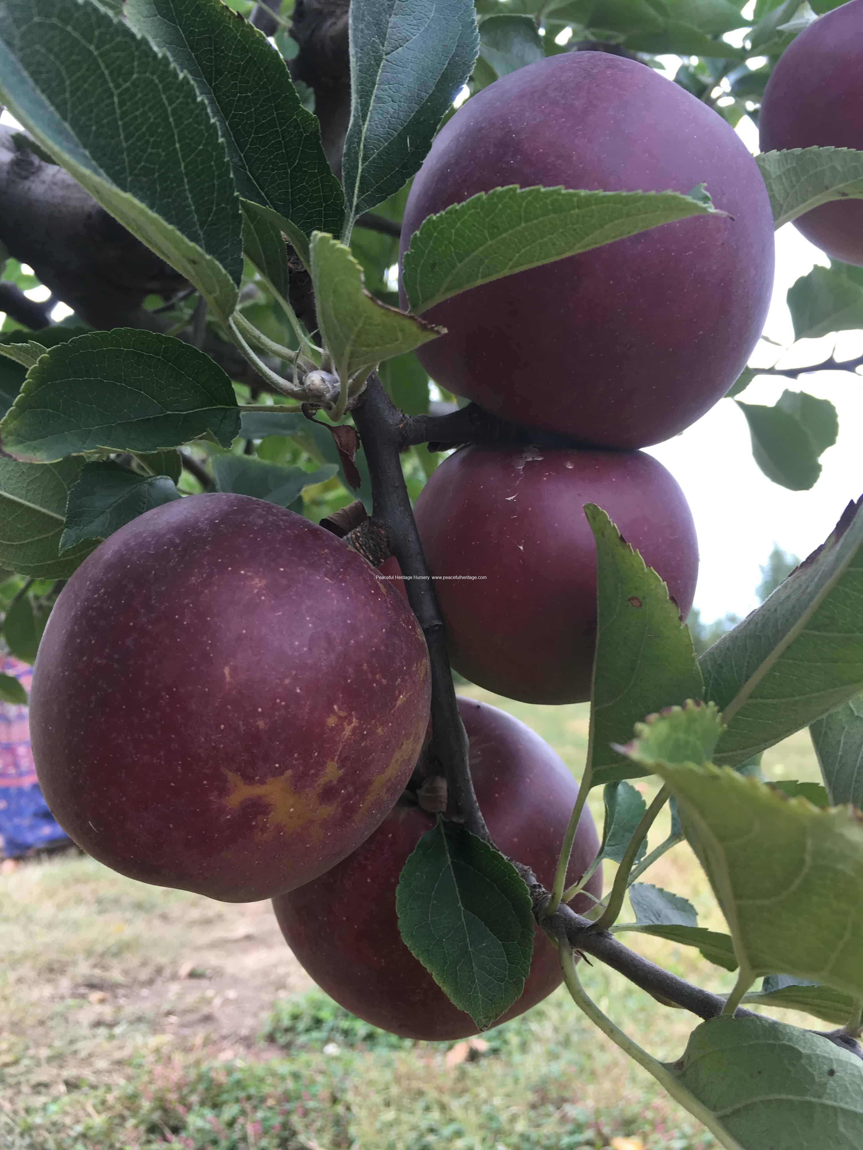 Arkansas Black Apple | Peaceful Heritage Nursery