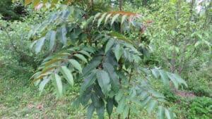 Arugula Tree Peaceful Heritage