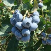 Blueberry - Premium Northern Highbush (Vaccinium corymbosum) and Rabbiteye (Vaccinium ashei)