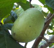 WABASH PAWPAW TREE | PEACEFUL HERITAGE NURSERY